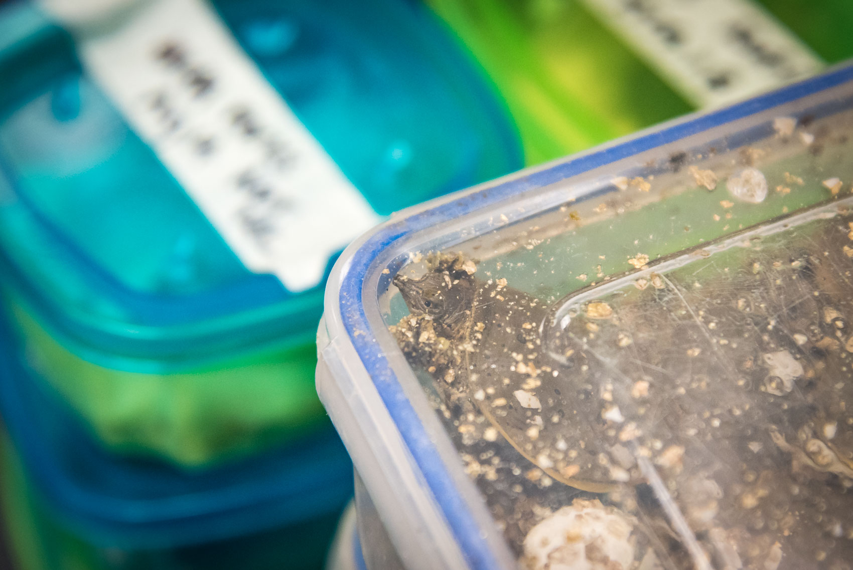 A hatched spiny softshell turtle baby in a plastic container in a lab at the UTRCA