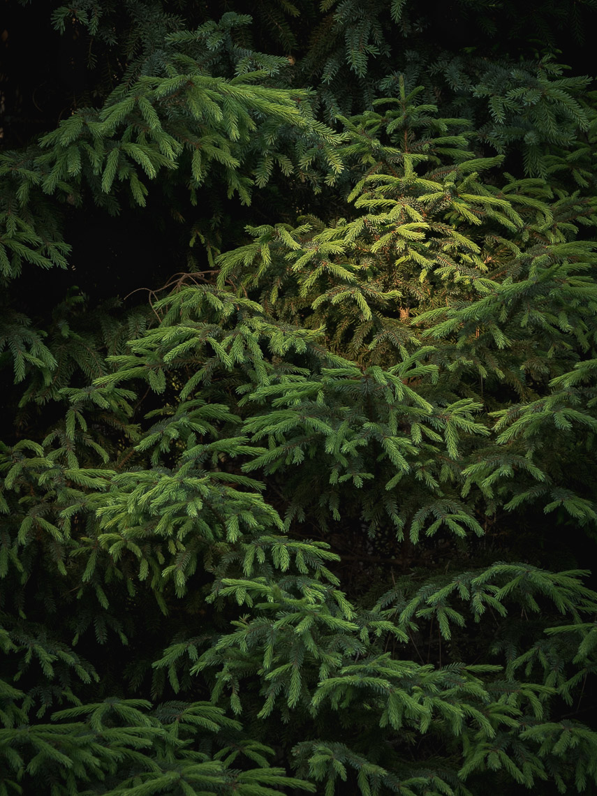 David_Coulson_Creatives05-conifers